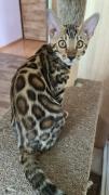 Красиві бенгальські чистопородні кошенята